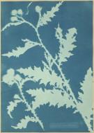 Thistle (Carduus acanthoides)