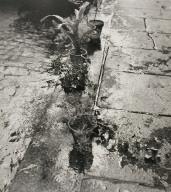 Untitled (Plants at Gutter, Paris)