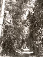Eucalyptus Alley through Citrus Groves, Grand Terrace, California