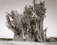 Remains of a Eucalyptus Wind Break among Citrus Groves, Redlands, California