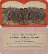 Young sugar cane