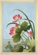 Flower Print: Le Nenuphar rouge de la Chine