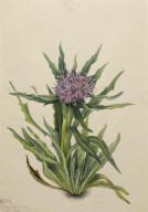 Saussurea (Saussurea densa)