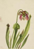Catesby Pitcherplant (Sarracenia catesaei)