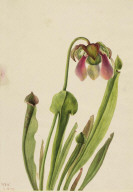 Catesby Pitcherplant (Sarracenia catesaei)