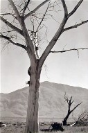 Dead Tree, Owens Valley