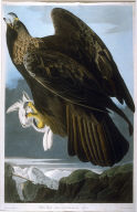 Golden Eagle, pl. 181 from the portfolio John James Audubon. The Birds of America