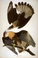 Brazilian Caracara Eagle, pl. 161 from the portfolio John James Audubon. The Birds of America