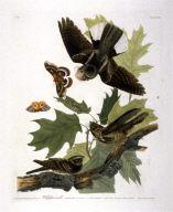 Whip-poor-will, pl. 82 from the portfolio John James Audubon. The Birds of America (London, the author: 1828-1839)