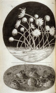 Scheme XII, thirteenth plate, opposite page 125 in the book, Micrographia: or some physiological Descriptions of minute Bodies made by Magnifying Glasses. With Observations and Inquiries thereupon (London: printed by Jo. Martyn and Ja. Allestry, printers to the Royal Society, 1665)