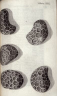 Scheme XIX, twentieth plate, opposite page 158 in the book, Micrographia: or some physiological Descriptions of minute Bodies made by Magnifying Glasses. With Observations and Inquiries thereupon (London: printed by Jo. Martyn and Ja. Allestry, printers to the Royal Society, 1665)