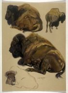 Studies of Buffalo