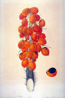 Botanical Study: Araccae (Palmae), Atrocayum vulgare