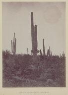 Cereus Giganteus, Arizona.