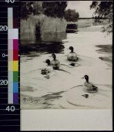 Four ducks in pond