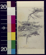 English pine, Mulberry Point