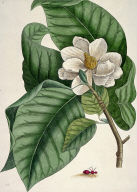 White Magnolia