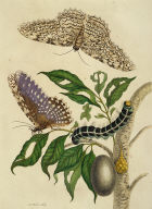 Butterflies, Caterpillar and Foliage, Plate 20 from Metamorphosis Insectorum Surinamensium