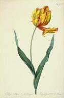 Tulipe cultivée var le Dragon