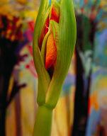 Amaryllis Spring