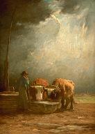 Oxen Drinking