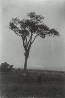 Tree on Skyline near Harlake (St. Joseph), 80 Feet High
