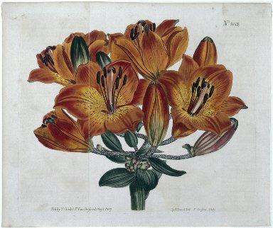 The Botanical Magazine or Flower Garden Displayed: Umbel-Flowering Bulb-Bearing Orange-Lily