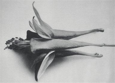 [Aquilegia chrysantha, Urformen der Kunst, Plate 95]
