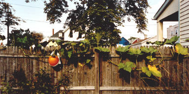 Backyard Pumpkin, Buffalo, N.Y.