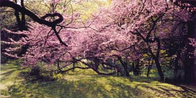 Redbud Blossoms, Royal Botanical Gardens, Hamilton, Ontario