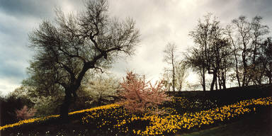 Daffodils and Storm Clouds, Highland Park, Rochester, N.Y.
