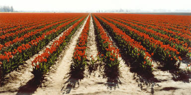 Commercial Tulip Field, Skagit Valley, Washington