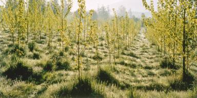 Cottonwood Tree Farm, Skagit Valley, Washington
