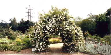Asian Species Rose Arbor, Descanso Gardens, LaCanada, California