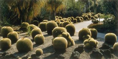 Golden Barrel Cacti, Huntington Desert Garden, San Marino, California