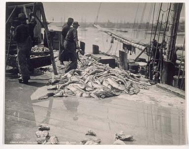 Unloading Gorton's Codfish, Gloucester, Mass.