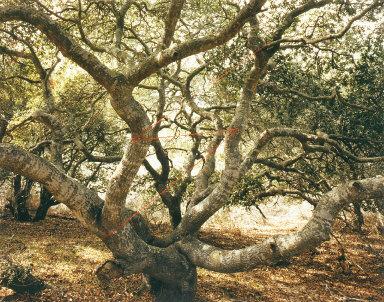 Live Oak Lightening, Lompoc, California