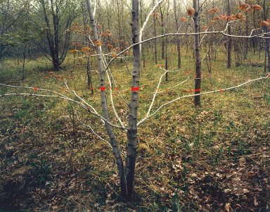 Red Tape, Silver Tree, Silver Creek, New York
