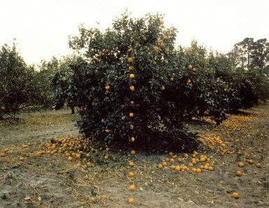 Falling Oranges, Lutz, Florida