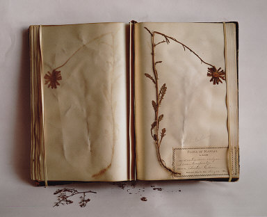 Flora of Kansas, A. Olsen, White Daisy, 1886