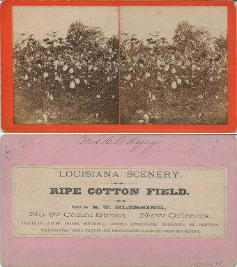 Ripe cotton field