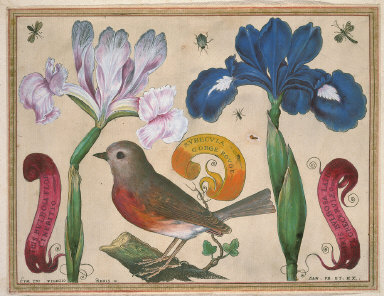 Iris Bulbosa Flore