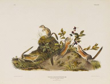 Four-Striped Ground Squirrell (Tamias Quadivittatus) from Audubon's Quadrupeds of North America