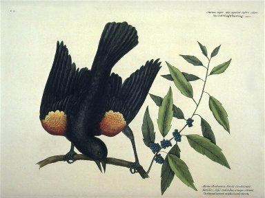 The red Wing'd Starling. The broad leaved candle-berry Myrtle.