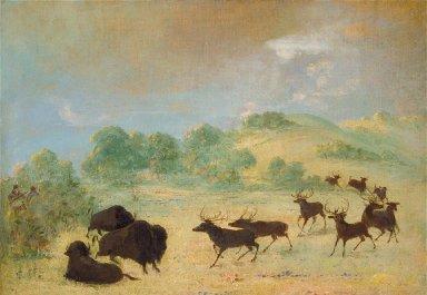 Elk and Buffalo Making Acquaintance, Texas