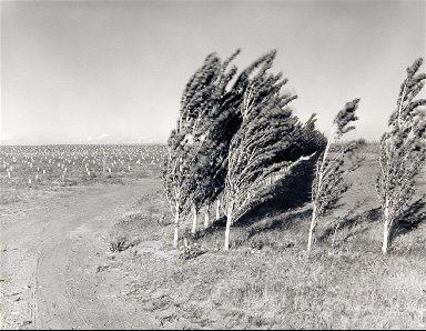 Third leaf poplars in a windstorm, May 26, 1984. From the series, Pioneering Mattawa