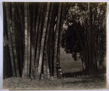 Giant Bamboos in Ceylon
