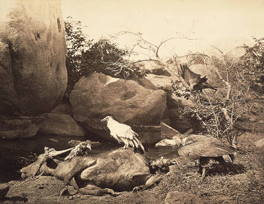 Tiger Hunting - No. 5. Buffalo Killed by Tiger. (Kites, vulture and crow, feeding on carcass)