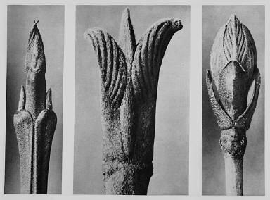[Urformen der Kunst, Cornus brachypoda, Cornus pubescens, Viburnum]