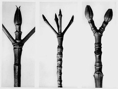 [Urformen der Kunst, Cornus Nuttallii, Cornus florida, Acer pennsylvanicum]